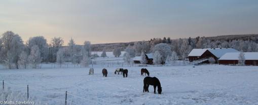Ridklubbens hästar på Aneby Gård