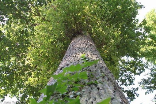 Så här skall ett skuggande träd se ut.
