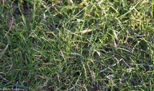 Vår gräsmatta grönskar redan