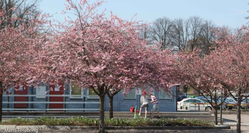 Nere vid hamntorget står träden i blom