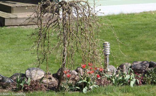 Tulpanerna är redan överblommade