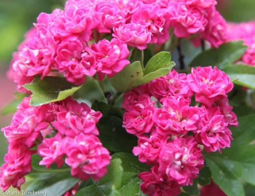 Mina nyutslagna blommor hemma. vill jag överlämna som tack till styrelsen.
