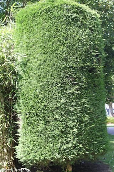 En vackert formklippt Thujabuske