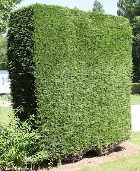 Ytterligare en vackert formklippt Thujabuske