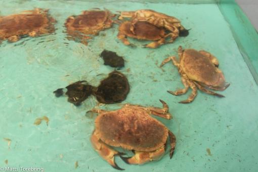 I fiskavdelningens damm simmar krabborna omkring, ovetandes om sitt öde