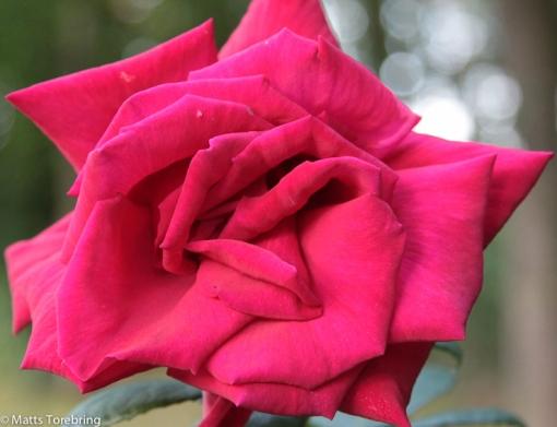Detta är nog den största ros jag sett, säkert minst 15 cm.