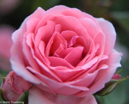 En av tusen rosor som inte blommat öser