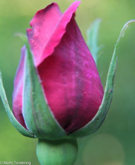Mycket rosor men nästa alla har blommat över