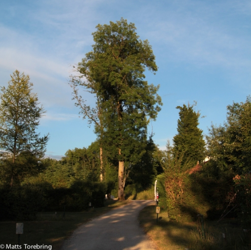 Mera stora träd