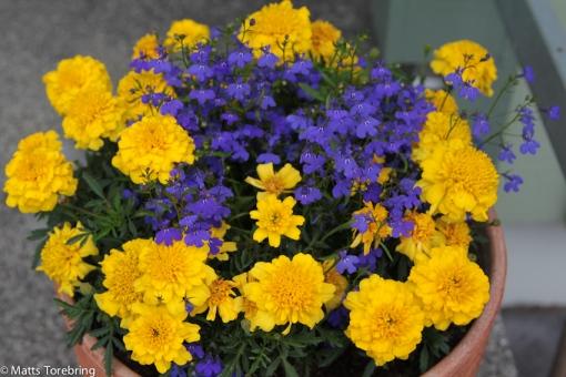 Tre urnor vid entrén hemma och tre  och tre gravvårdag fick samma blommor