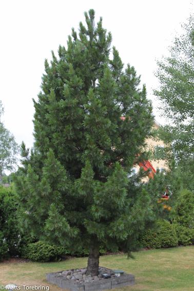 Min egen skog en Pinus Zembra
