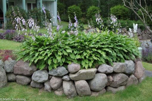 Hosta håller rent från allt ogräs.