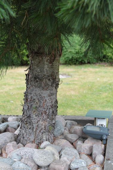 En grov stam på drygt 15 år