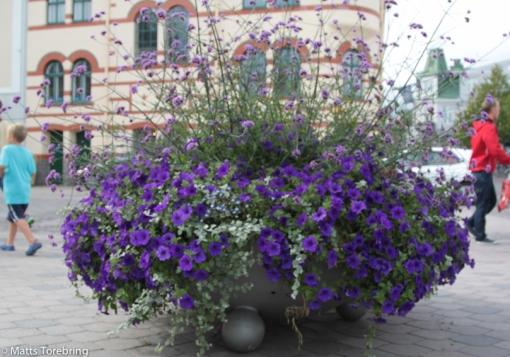 Få städer har så mycket vackra blommor som Västervik.