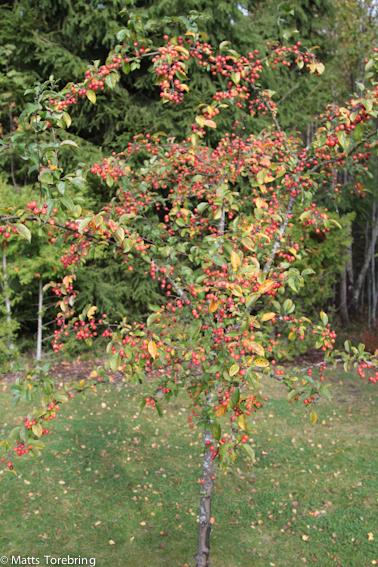 Ett av våra två Paradisäppelträd
