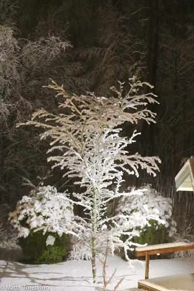 Mitt Hagtornsträd i belysning