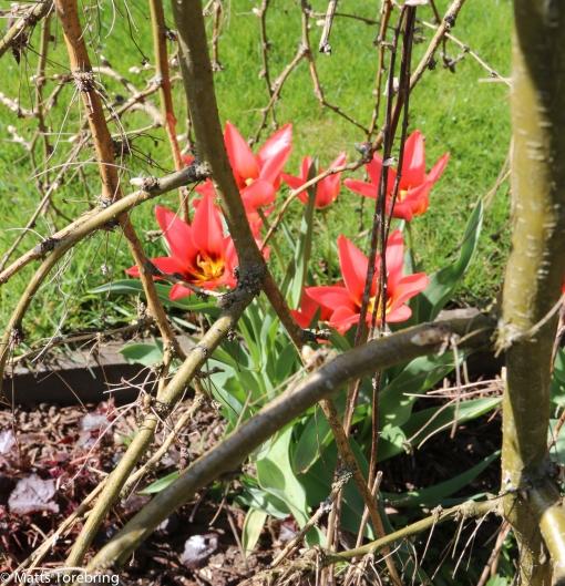 Rådjuren har inte hittat tulpanerna i år.