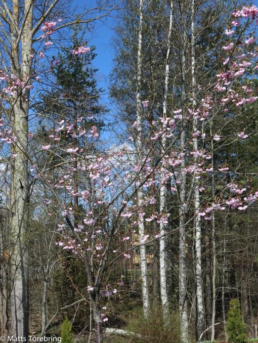 Japanskt körsbärsträd
