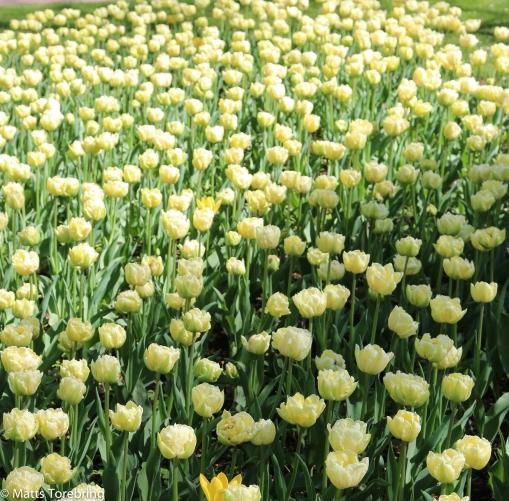 Tulpaner i stadsparken