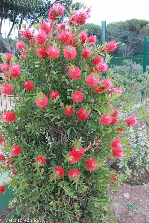 Vackra buskar, men vet inte vad de heter