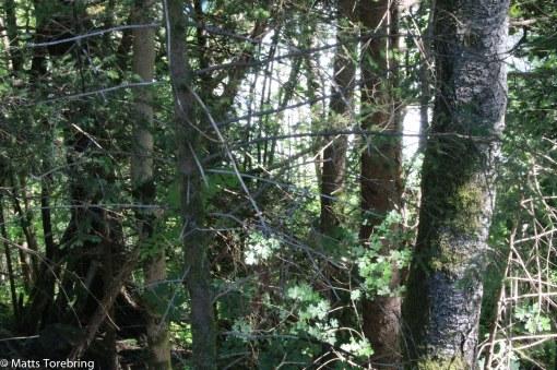 Mycket skog som ger skugga