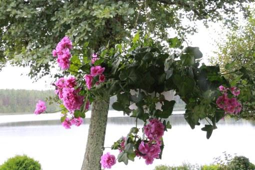 Snart plockas pelargonian ned på våra vänners veranda