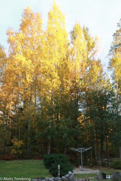 Mitt mål idag var att dessa träd hade sin sista dag