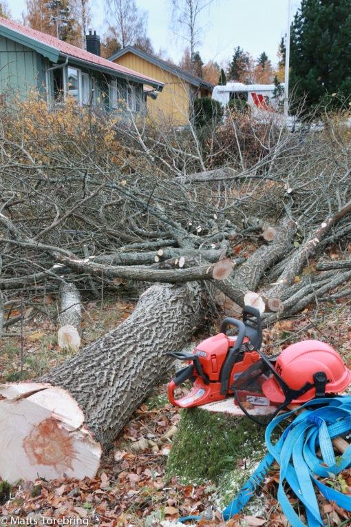 Det värsta trädet blev det sista