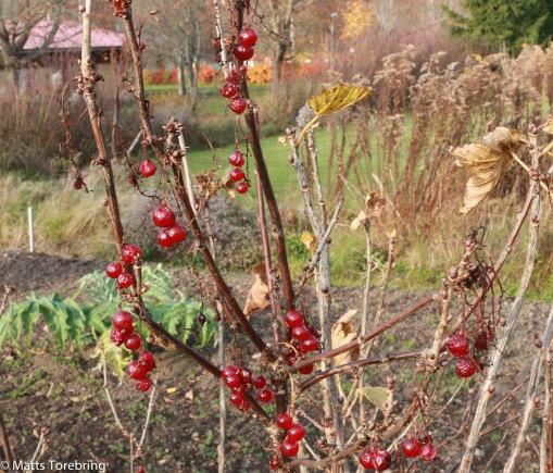 Runes skötebarn - Trädgården